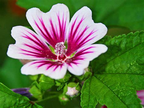 Cyntia New Syari Flower 1 mallow flower hvargas flickr