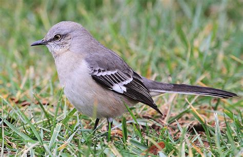 northern mockingbird the bird of many songs tara wildlife