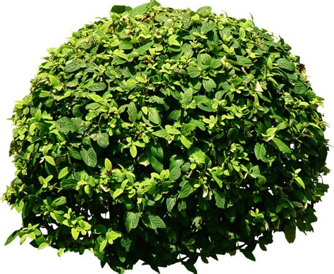 bush tree tree png transparent background