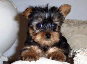 yorkie puppies for sale upstate ny teacup yorkie puppies new york for sale albany pets dogs