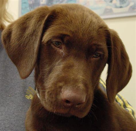 lab puppies for sale in nj labrador retriever puppies for sale new jersey puppies for sale outdoors