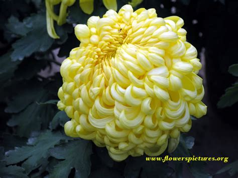 yellow mums flower pictures