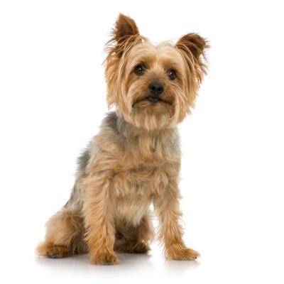 regular yorkie how to groom silky yorkie terriers pets