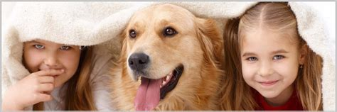 golden retriever ailments obesity diseases in golden retriever dogs