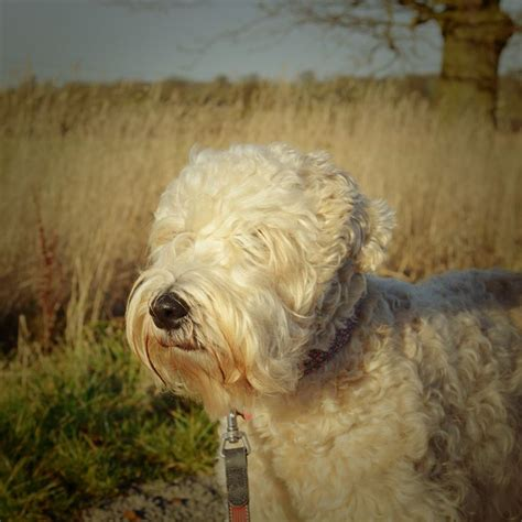 hair styles cuts for wheaten terriers pictures of wheaten terrier haircuts pictures of wheaten