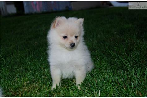 teacup pomeranian puppies sale indiana teacup pomeraninas teacup pomeranian puppies pomeanians puppies for breeds picture