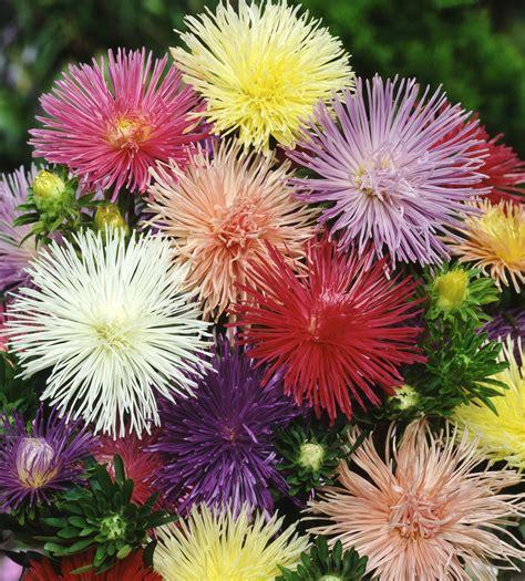Bibit Bunga Aster Single Mixed China Flower Mix Colour aster seeds needle mix