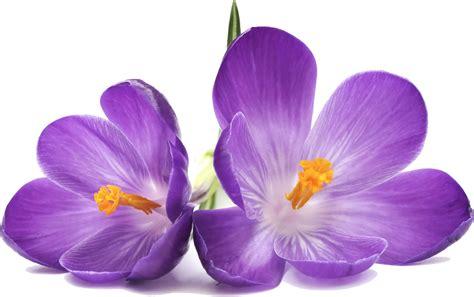 Fleur Violette by Image Fleur Violette Photo De Fleur Une Pensee Fleuriste