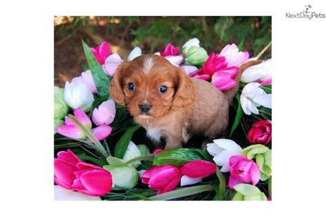 cavapoo puppies for sale in va blaze cavapoo puppy for sale near charlottesville virginia 1653ba94 bab1