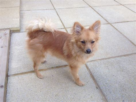 oldest pomeranian pomeranian 6 months dartford kent pets4homes