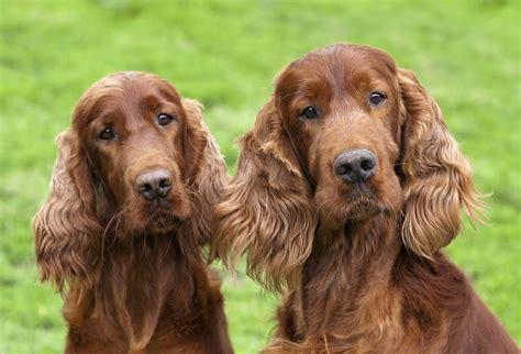 irish setter girl dog names the modern bark dog training tips 75 unique names for