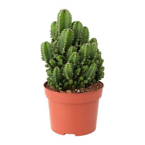 vasi piante ikea cereus peruvianus pianta da vaso ikea