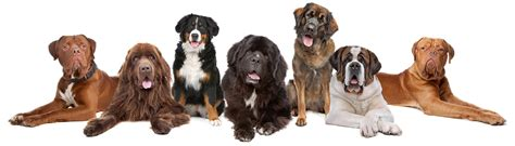 what is the most popular breed most popular breeds 1 25 most popular breeds and their health breeds picture