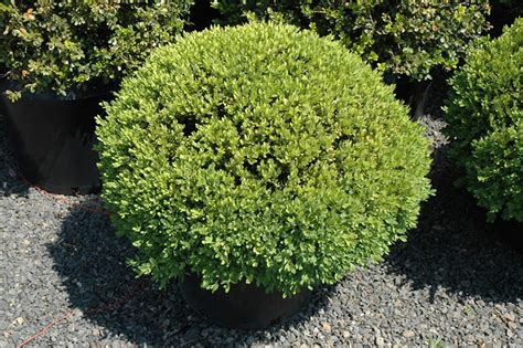 green velvet boxwood globe form buxus green velvet