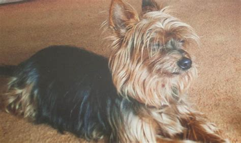 how to stop my yorkie puppy from biting me gran bites killer alsatian to save beloved terrier millie news express co uk