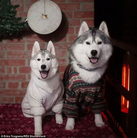 those husky dogs are wearing human clothes and they look