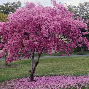 Benih Bijibibit Bunga Kaktus Pink jual beli biji benih bunga tanaman tabebuia rosea pink
