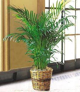 palme in vaso cycas consigli domande e risposte sulla palma cycas