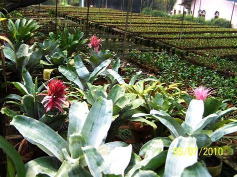 Bibit Anggrek Impor sanderiana orchid