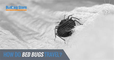 do bed bugs travel how do bed bugs travel bedbug store