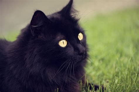 black xat 5 fascinating facts about black cats