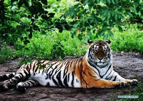 tiger biography in english life of siberian tigers in ne china s siberian tiger park
