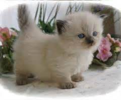 munchkin cat for sale ohio about animals