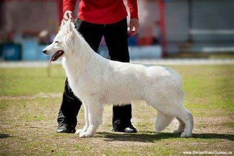 berger blanc suisse puppies for sale berger blanc suisse puppies for sale from reputable breeders