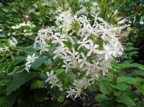 tanaman  bisa  jadikan obat  kembang bugang