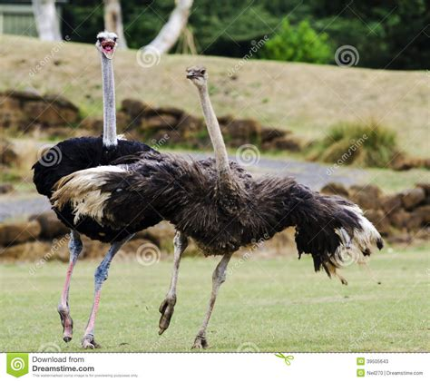 ostrich mating dance stock image image of long safari