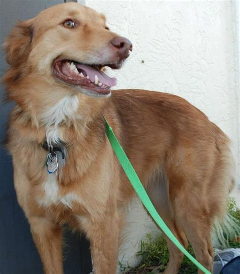 golden retriever rescue adoption of needy dogs 1000 images about adoptable goldens on adoption other and golden