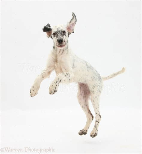 jumping puppy setter jumping