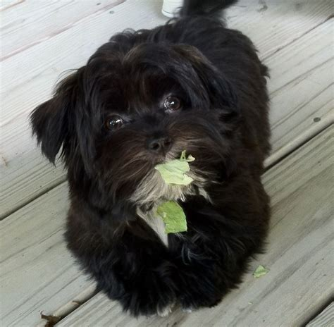 baby havanese 78 best images about havanese on on earth puppys and bar