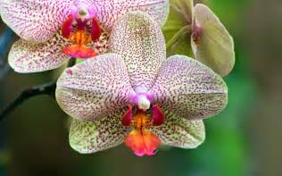 orchid flower image hd wallpaper stock photos free