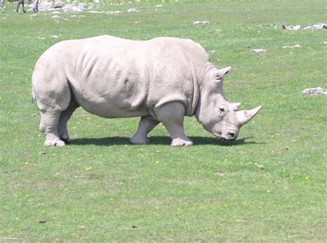 imagenes rinoceronte blanco rinoceronte blanco africano rinoceronte informaci 243 n y