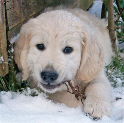 best place to buy golden retriever puppies puppy adopt a puppy buy a puppy puppy puppy clothes puppy book covers