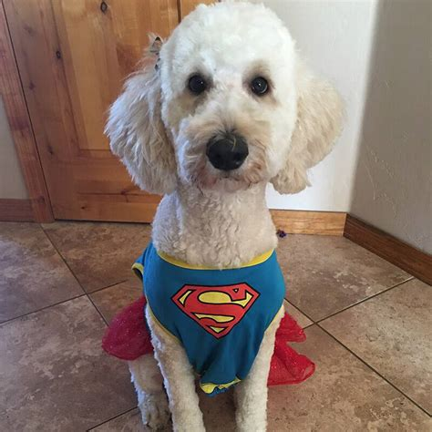 goldendoodle puppy energy goldendoodle breed information puppies pictures