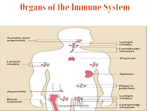 diagram of the immune system immune system structure and functions