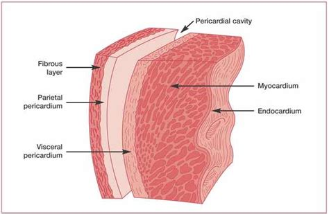 what is the structure of the pericardium what is its function socratic