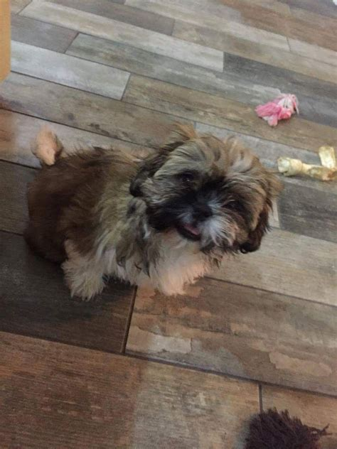 shih tzu puppies for sale in hull kc registered shih tzu puppy for sale hull east of pets4homes