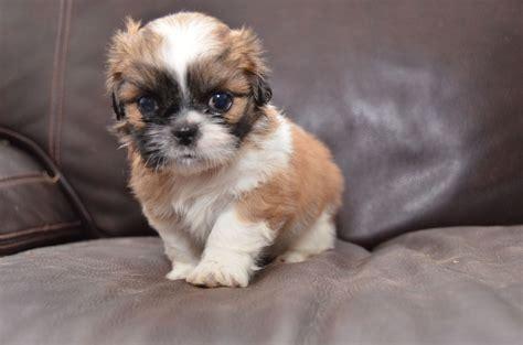 shih tzu litter beautiful litter of shih tzu puppies southton hshire pets4homes