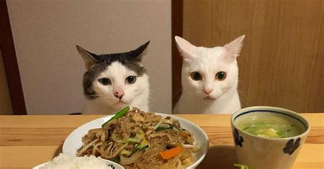 cat dinner takes photos of their cats during dinner the cat