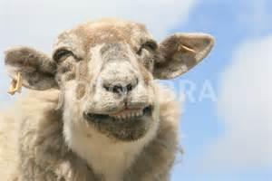 happy lamb quotes