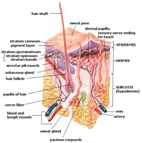 section body organization of the human body opencurriculum