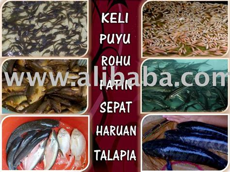Benih Lobster Air Tawar Selangor benih ikan air tawar products malaysia benih ikan air