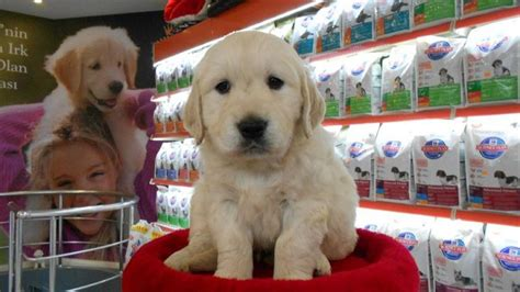 golden retriever shop satilik golden retriever yavrulari petonya pet shop ta