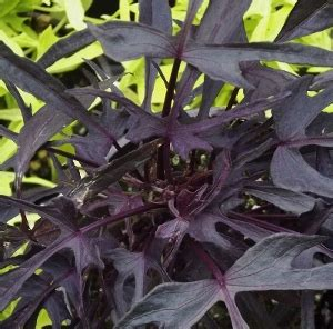 plants with purple foliage sweet potato vine ipomoea batatas mike s garden top 5