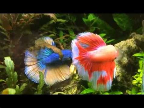 Tetra Betta By Iwak Ku Aquarium ikan hias gapi sword funnycat tv