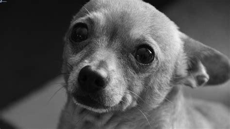 imagenes a blanco y negro de perros chihuahua