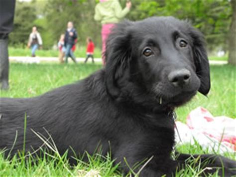 golden retriever rescue midwest flat coated retriever 12 weeks dogs our friends photo